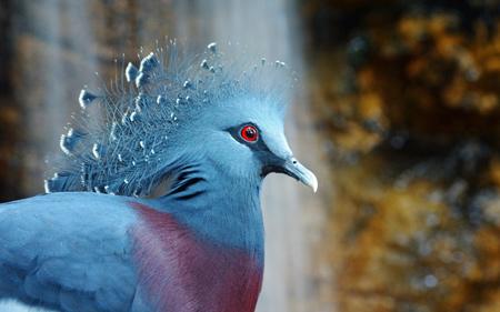 عکس کبوتر تاجدار ویکتوریا victoria crowned pigeon