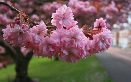 شکوفه صورتی درخت گیلاس blossom pink cherry