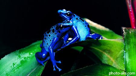 قورباغه آبی سمی blue frog