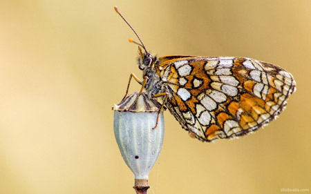 عکس پروانه روی گل خشخاش butterfly wing beauty