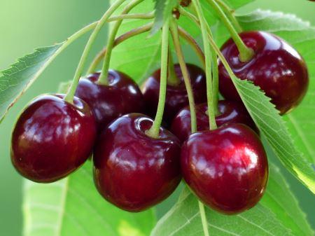 عکس خوشه گیلاس قرمز cherry sweet red fruit