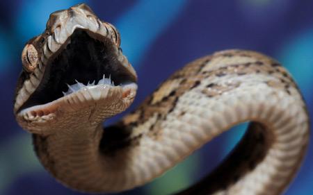 مار خشمگین سمی Angry snake