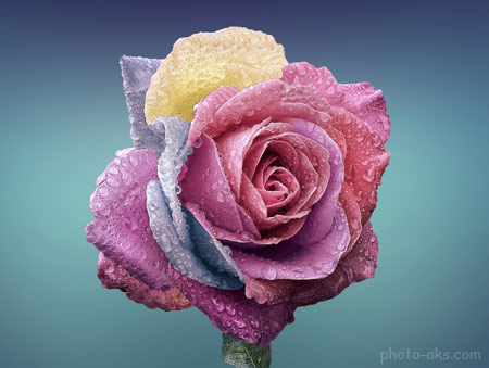 عکس شاخه گل رز رنگارنگ colorful rose flower