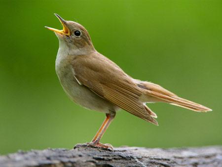 عکس بلبل هزاردستان common nightingale sing