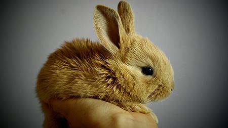 عکس خرگوش حنایی بامزه خوشگل cute rabbit image