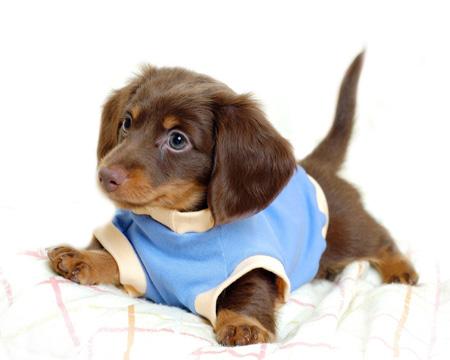 عکس توله سگ پاکوتاه بامزه dachshund puppy wearing sweater