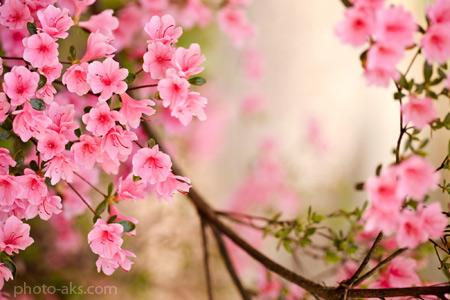 زیباترین شکوفه های بهاری صورتی peach spring flowers