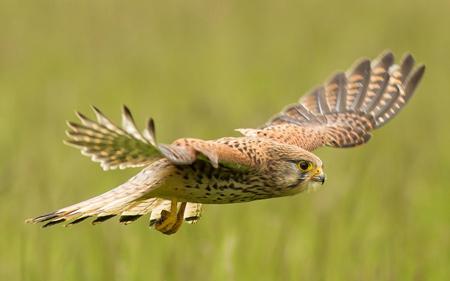 عکس پرواز پرنده شکاری قرقی flight bird wing