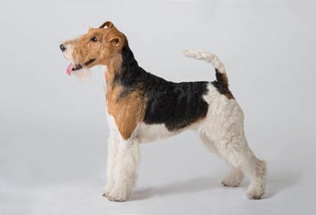 سگ فاکس تریر موصاف fox terrier dog