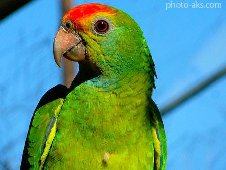 طوطی سبز آمازون amazon parrot