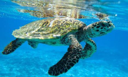 عکس لاک پشت پوزه عقابی hawksbill sea turtle