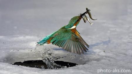 عکس پرنده ماهی خورک kingfisher bird