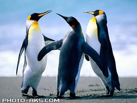 پنگوئن های امپراتور penguins wallpaper