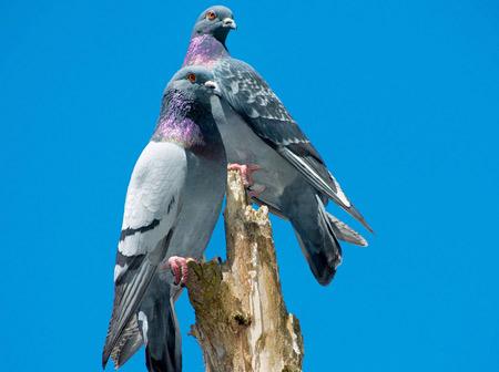 عکسهای زیبای کبوترها pigeons blue