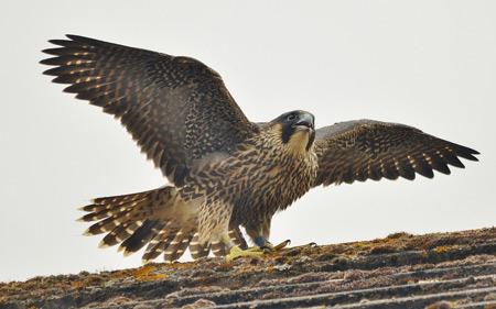 پرنده شاهین با بالهای باز bird falcon wings
