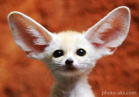 روباه صحرا desert fox