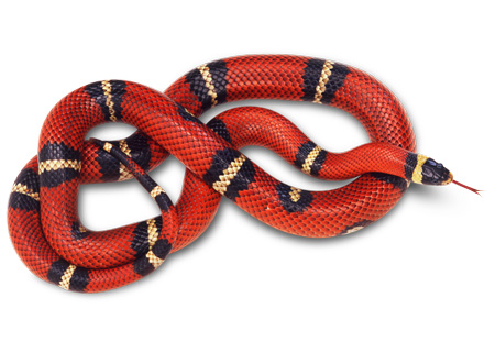 عکس مار راه راه قرمز red snake wallpaper