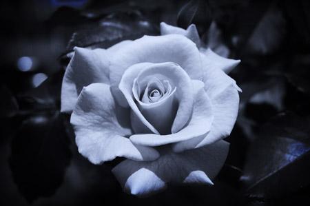 عکس گل رز سیاه سفید rose black and white