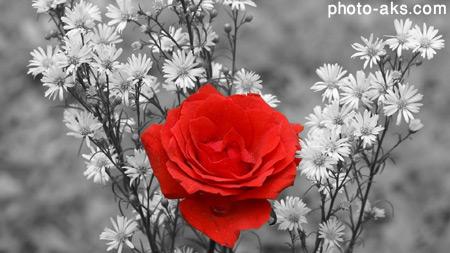 گل رز با زمینه سیاه و سفید black and white background rose