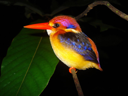 پرنده زیبا ماهی خوار رنگارنگ ruddy kingfisher colorfull