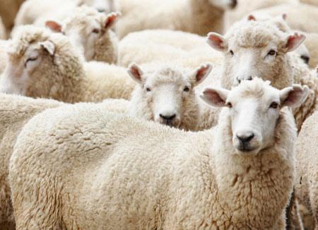 عکس دسته جمعی گوسفند ها sheeps wallpaper
