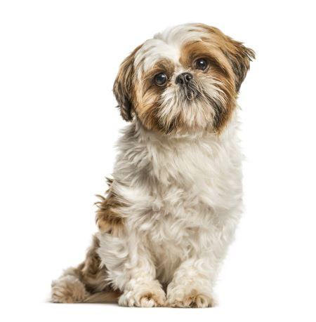 عکس سگ شیتزو shih tzu dog