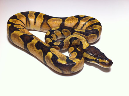 عکس مار پیتون توپی sugar pastel ball python