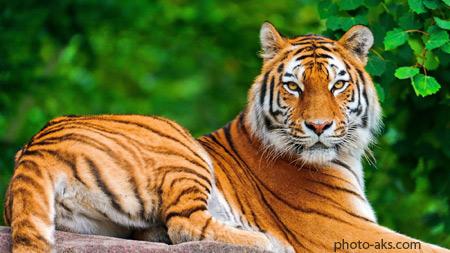 پوستر و عکس ببر بنگال tiger wallpaper