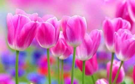 عکس گلهای لاله صورتی زیبا tulips new background