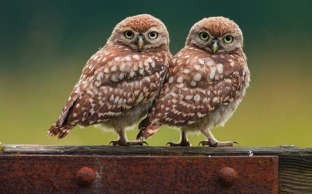 عکس دو پرنده جغد کنار هم two birds owls