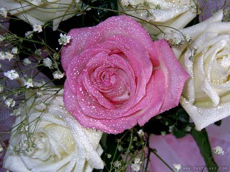 گل رز ارغوانی سفید Violet roses