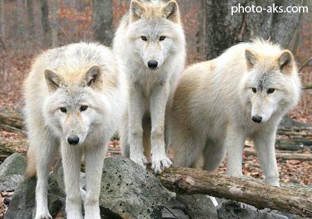 گله گرگ های سفید white wolves