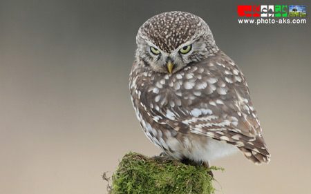 جوجه جغد کوچک little owl wallpaper