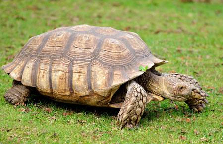 عکس لاکپشت افریقایی african spurred tortoise