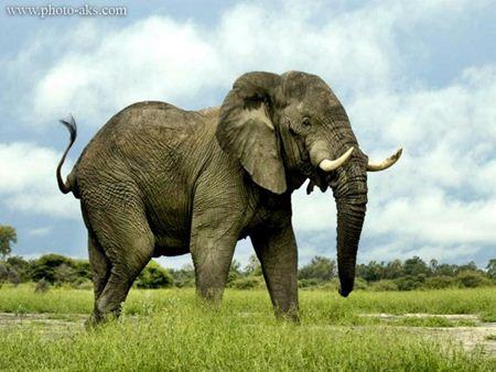 فیل افریقای african elephant