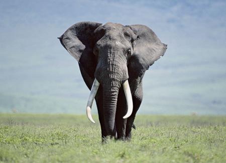 عکس فیل بزرگ از روبرو aks fil bozorg