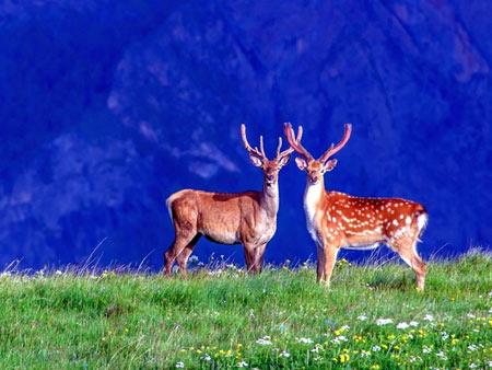 منظره زیبا طبیعت و گوزن ها aks gavazn tabiat