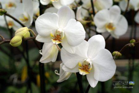 عکس گل ارکیده aks goleh orkideh