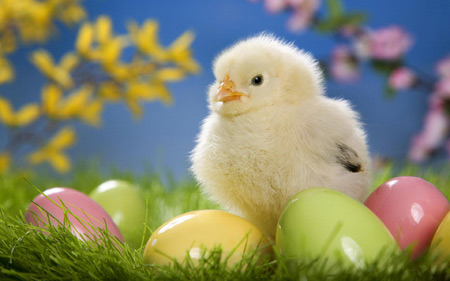 عکس جوجه زرد و تخم مرغ رنگی aks jojeh zard