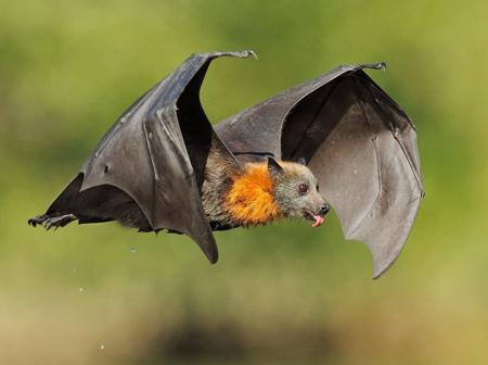 عکس پرواز خفاش شب در آسمان aks parvaz khofash