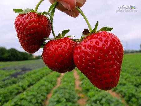 عکس از توت فرنگی رسیده در مزرعه aks totfarnagi resideh