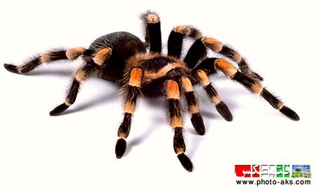عنکبوت aks ankabot