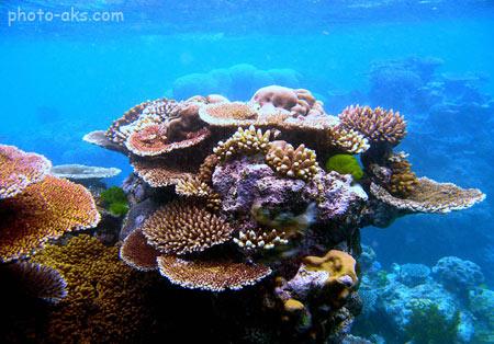 عکس مرجان دریایی aks marjan daryaei