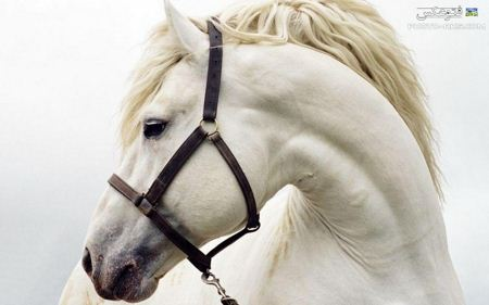 والپیپر سر اسب سفید  white horse head wallpaper