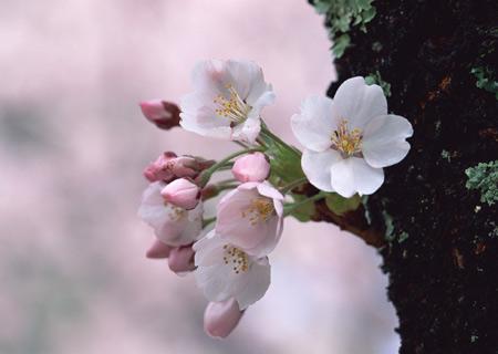 شکوفه بهاری روی تنه درخت shokofe bahari ziba
