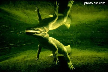 عکس کروکودیل از زیر آب alligator under water