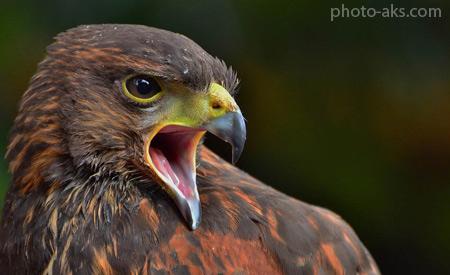 عکس عقاب عصبانی angry eagle birds