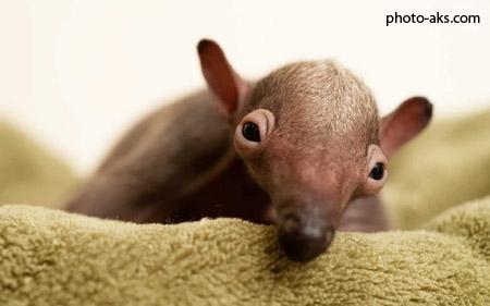عکس بچه مورچه خوار baby of anteater