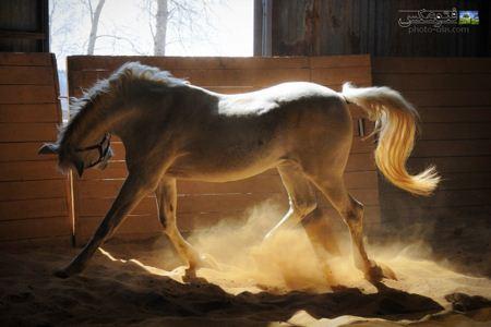 عکس اسب سفید در استبل aks asb sefid