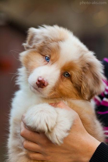 سگ نژاد استرالین شپرد australian shepherd puppy